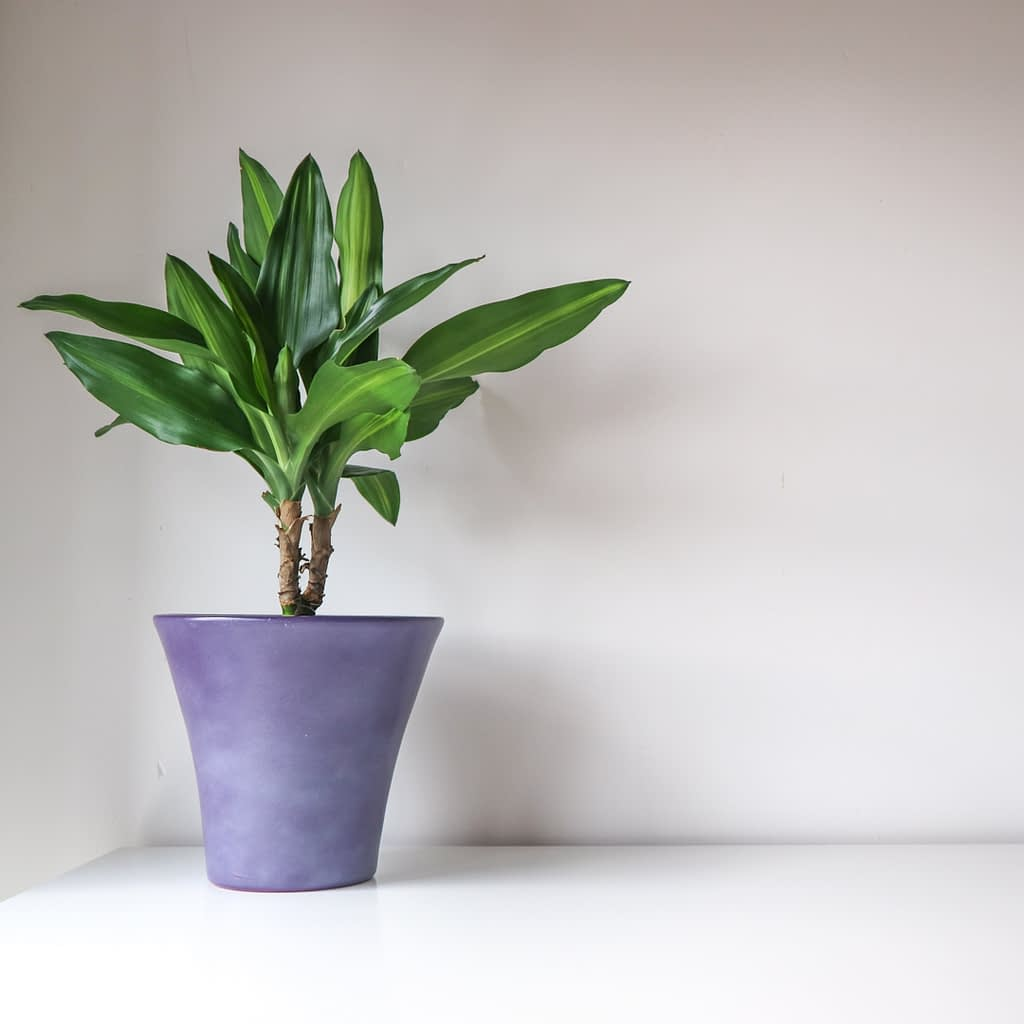 Catherine Tuckwell Personal Brand Photography - eco-friendly photographer houseplant in purple pot against white background